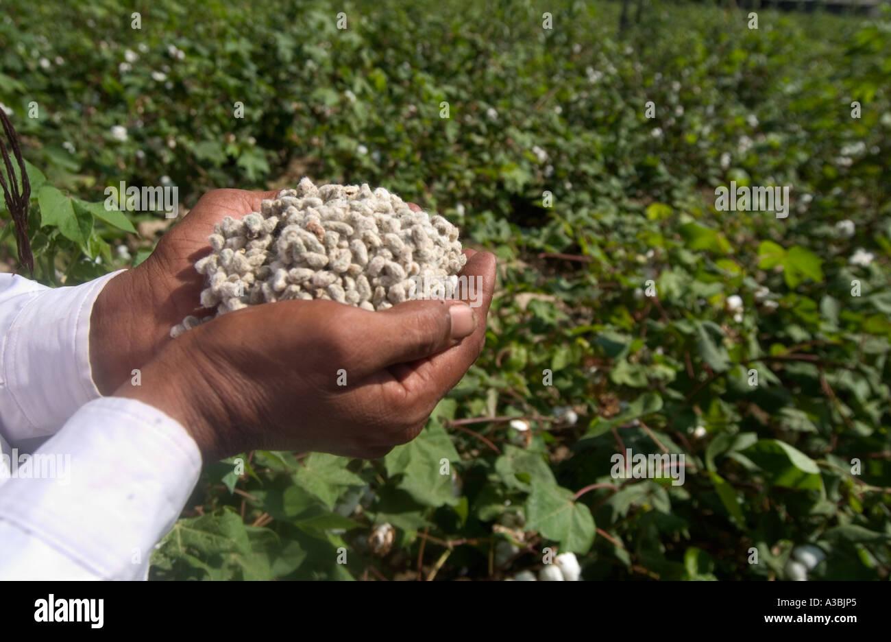 L'uomo tiene i semi di cotone, in Gujarat, India. L'agricoltore vende cotone Fairtrade a Marks & Spencer Immagini Stock