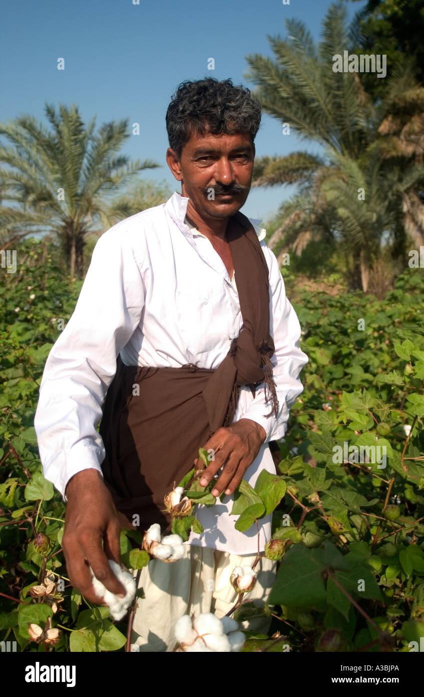 Coltivatore di cotone raccolto il suo raccolto. Lui vende il suo cotone sotto il regime di commercio equosolidale a supermercati nel Regno Unito Immagini Stock