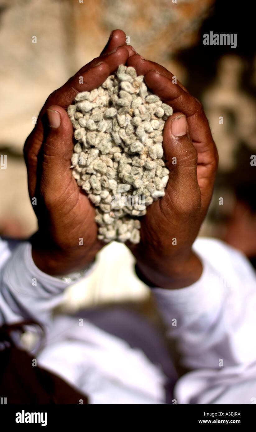 Contadino che vende cotone Fairtrade di Marks & Spencer, trattiene i semi di cotone Immagini Stock