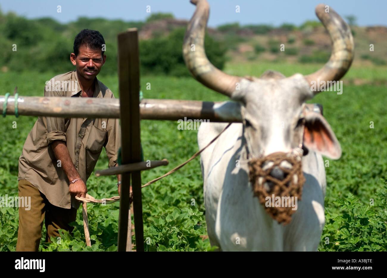 Contadino che vende cotone Fairtrade di Marks & Spencer, ara il suo campo di cotone Immagini Stock