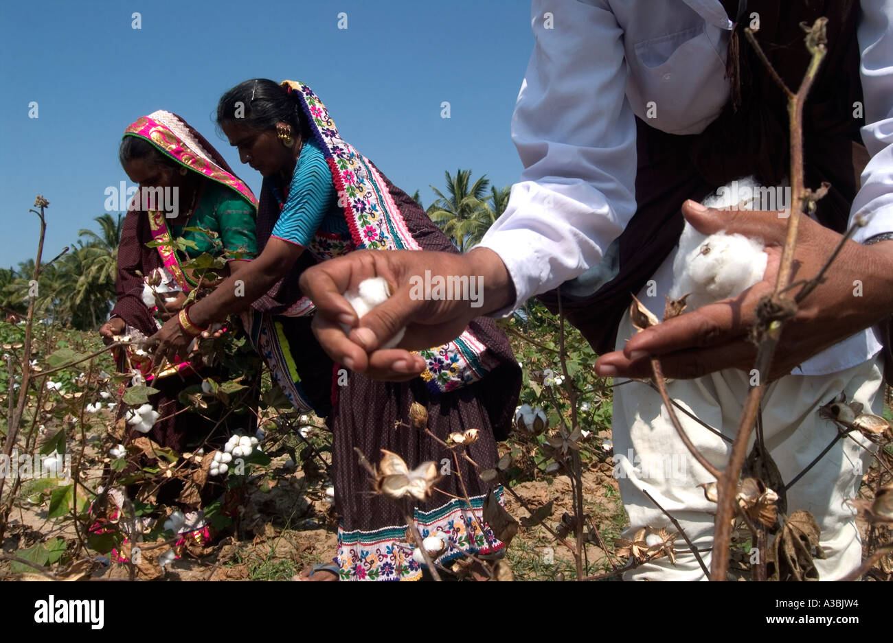 Gli agricoltori la raccolta di cotone in Gujarat, India. Questi agricoltori alimentazione cotone Fairtrade per supermercati nel Regno Unito Immagini Stock