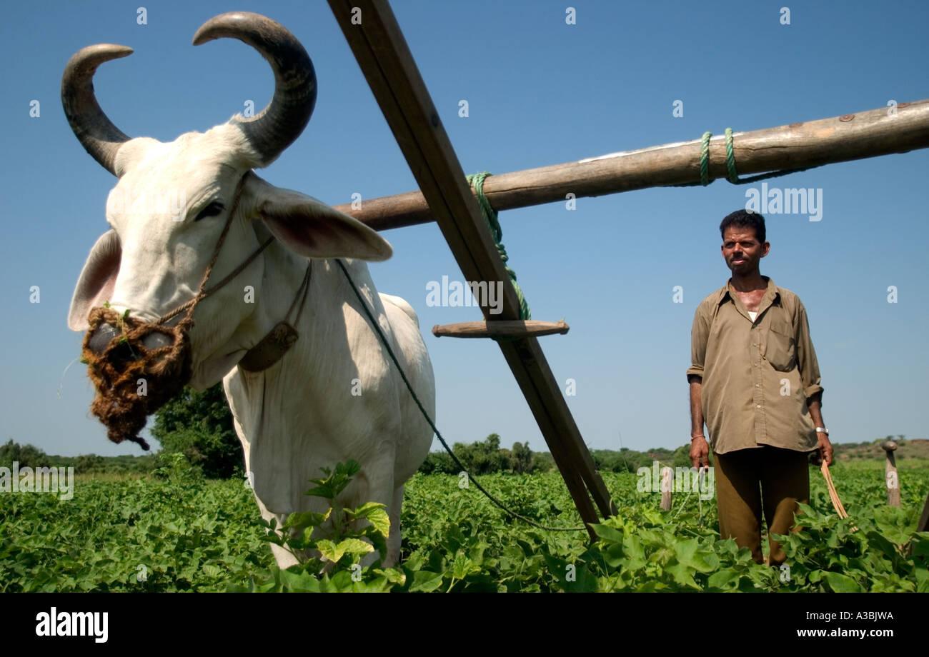 Agricoltore lavora sui campi di cotone in Gujarat, India. Egli fornisce Marks & Spencer con cotone Fairtrade Immagini Stock