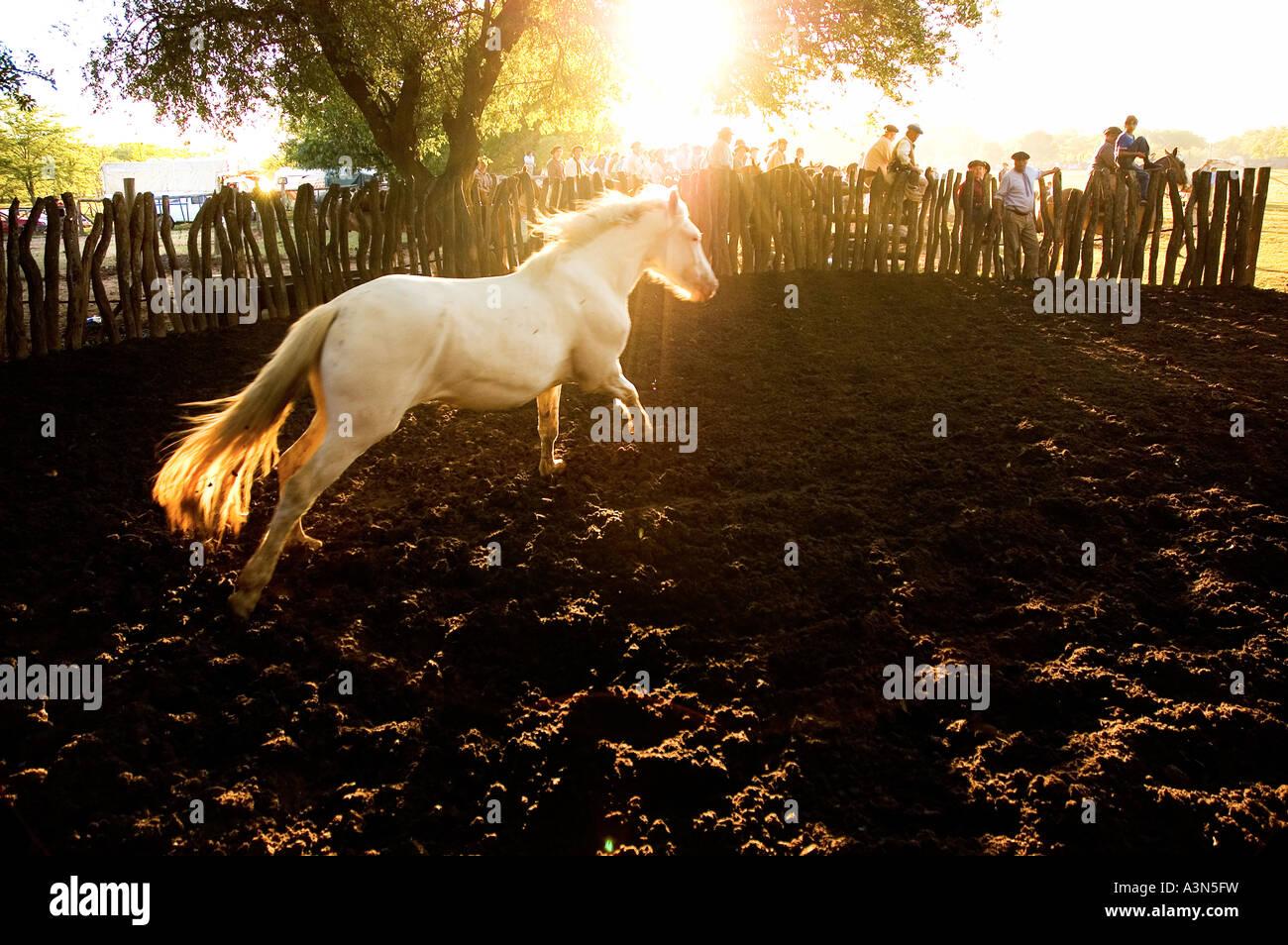 Horse Running a 'La Pialada' al tramonto, Fiesta de la Tradicion, San Antonio de Areco, Provincia de Buenos Immagini Stock