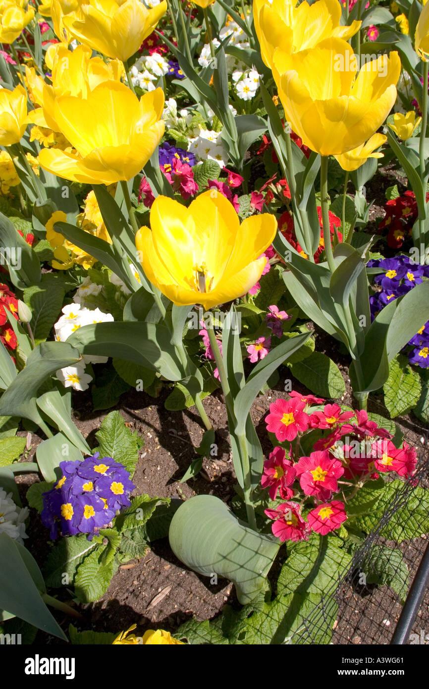 Tulip giallo purissima e Primula Crescendo mix Immagini Stock