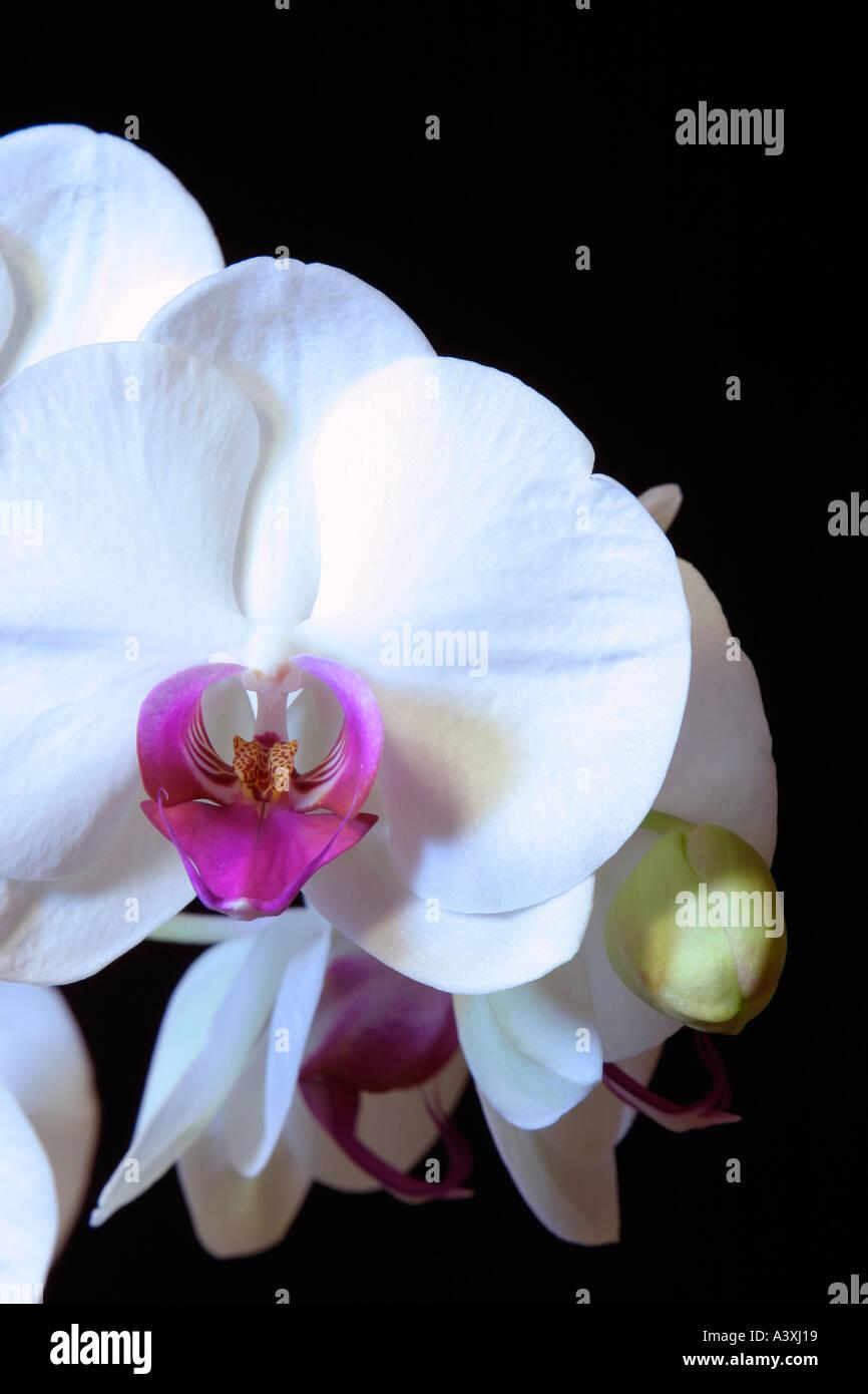 Fiori Orchidea Bianchi.Fiori Di Orchidea Bianchi Phalaenopsis Foto Immagine Stock