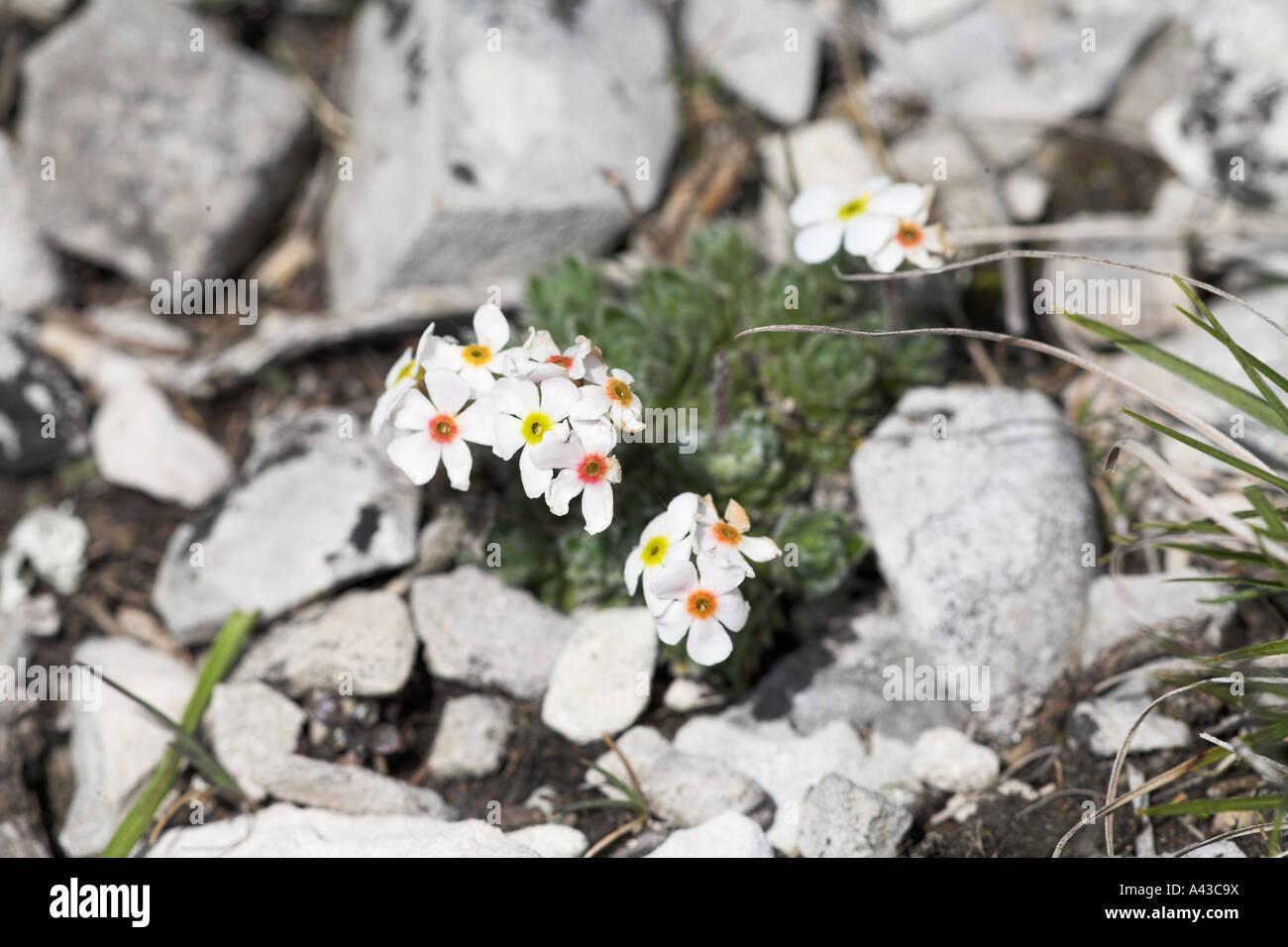 Ciliato rock gelsomino Androsace chamaejasme Font d Urle Vercors Parco Nazionale di Francia Immagini Stock