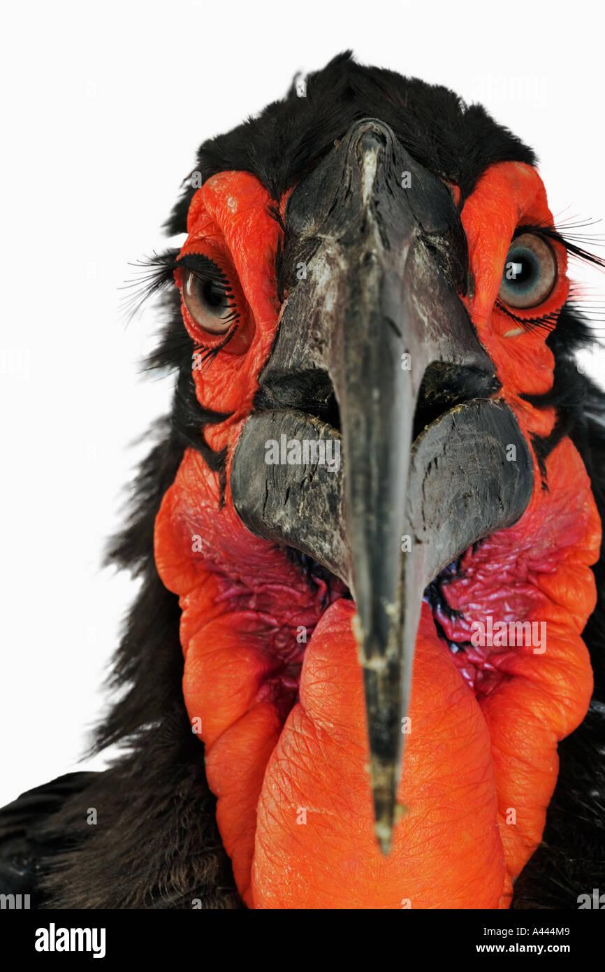 Massa Hornbill Bucorvus leadbeateri più grande di Hornbills e sono principalmente terrestre. Nutrono principalmente di insetti. Trovato in Africa Immagini Stock