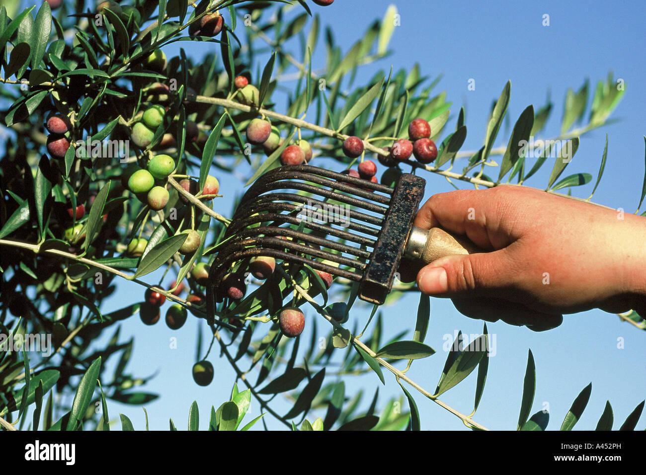La raccolta delle olive. La Catalogna. Spagna Immagini Stock