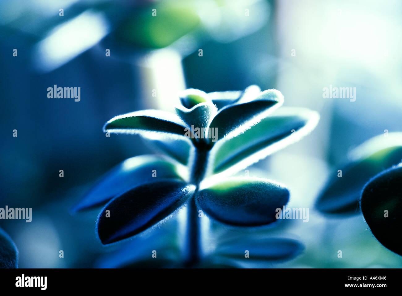 Un succulento pianta di casa chiamato pulsante arresto di emergenza Immagini Stock