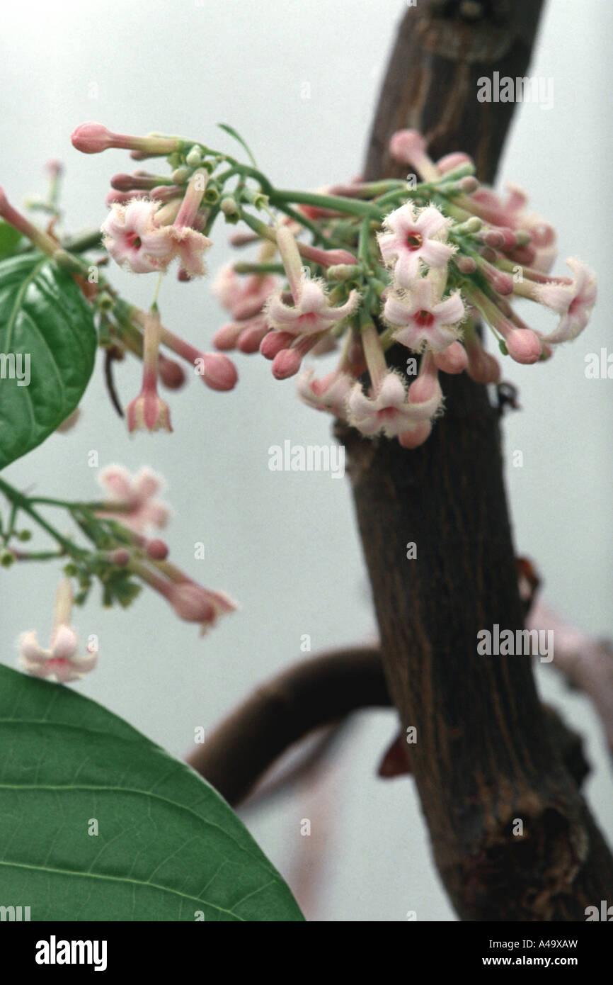 Corteccia peruviana, chinina, chinina corteccia giallo, chinina, giallo chinina (corteccia di China officinalis), Immagini Stock