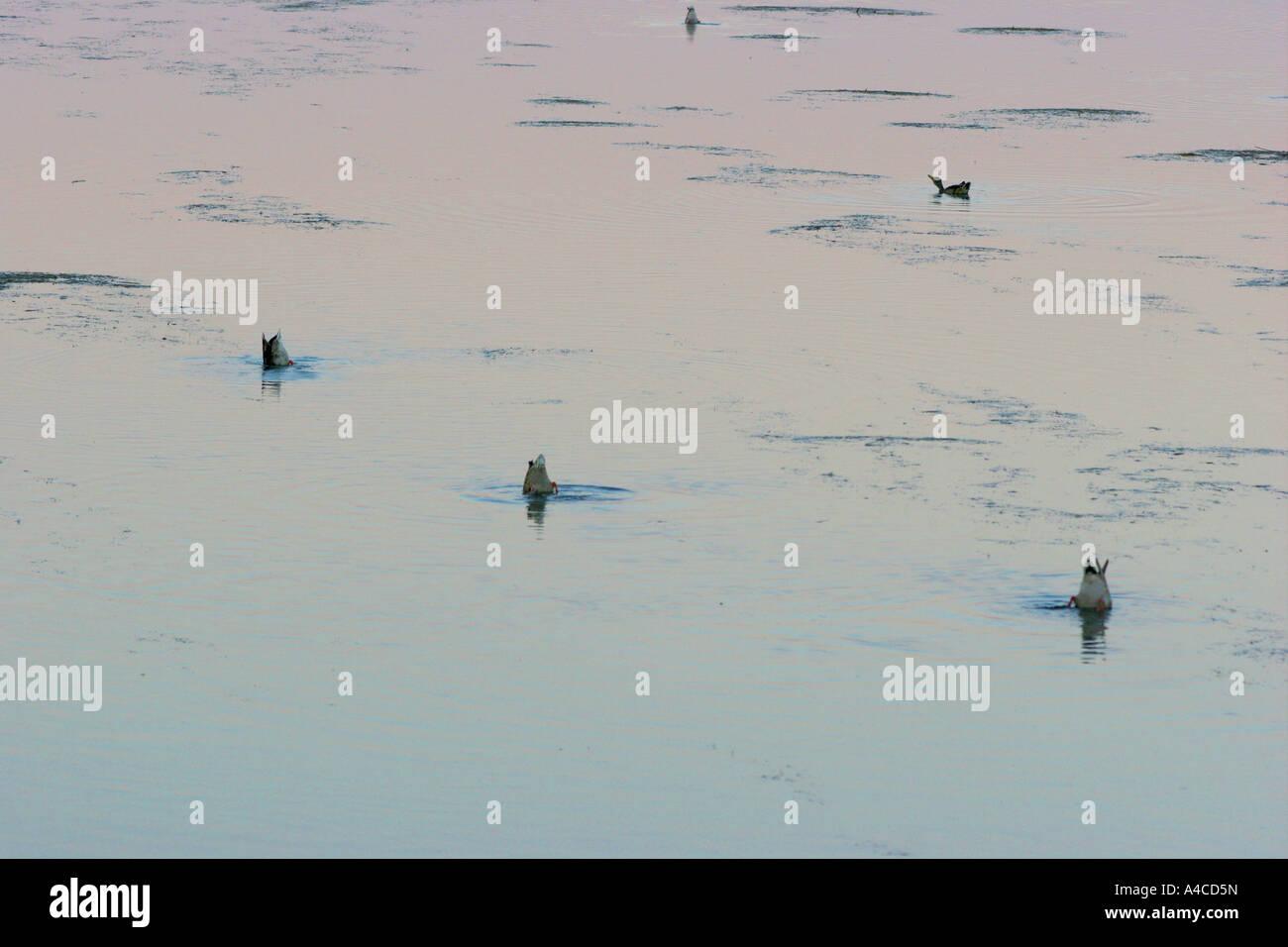 Gli uccelli acquatici, National Elk Refuge, wyoming Foto Stock