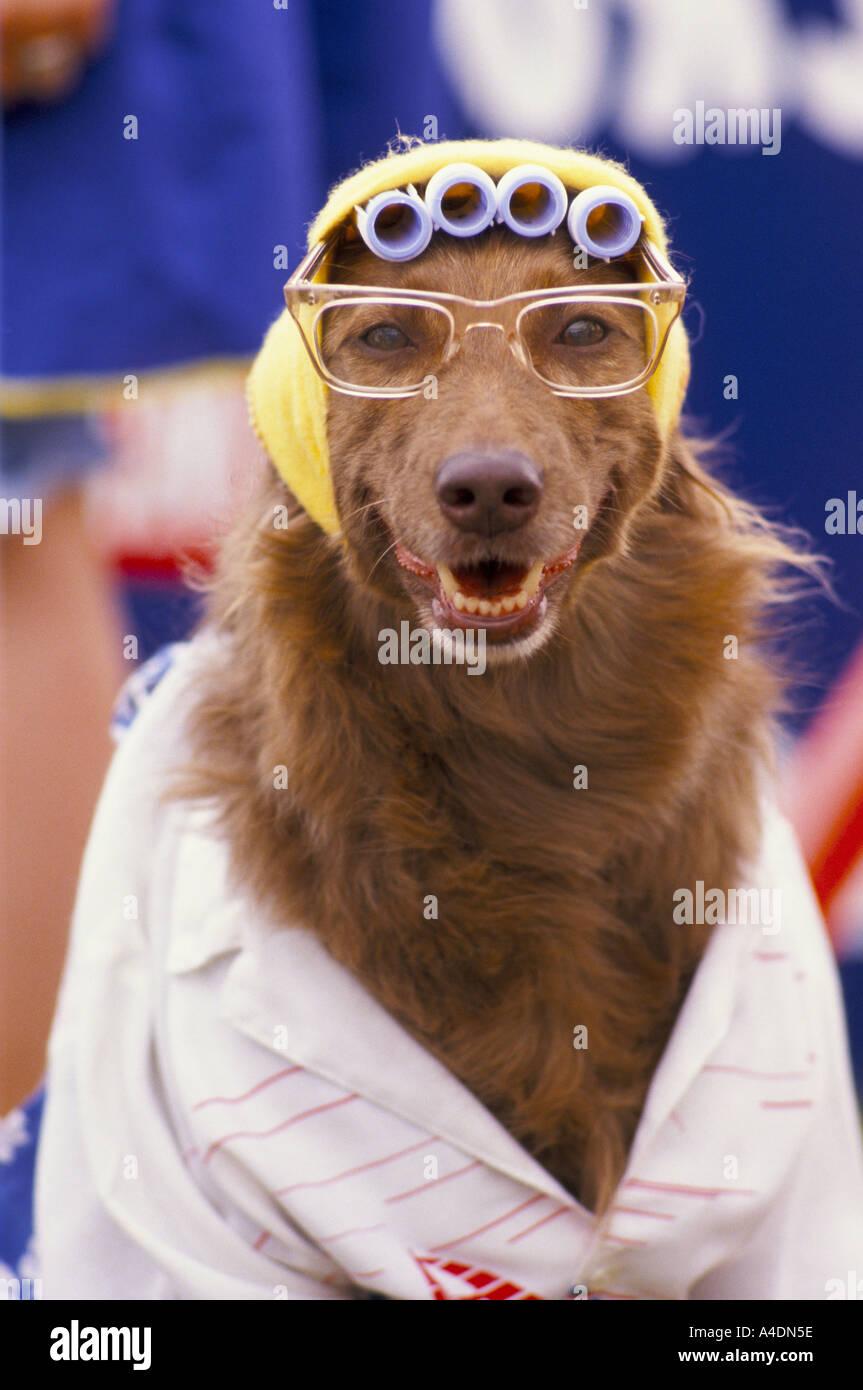 Un ritratto di un cane con gli occhiali e capelli-arricciacapelli a Scruffts Dog Show ridiculing Crufts, REGNO UNITO Immagini Stock