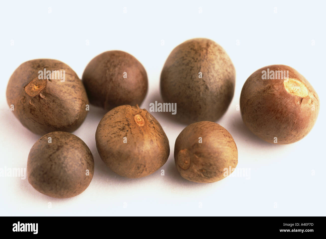 Pianta medicinale il seme della teaplant Camelia sinensis oilfruit Immagini Stock
