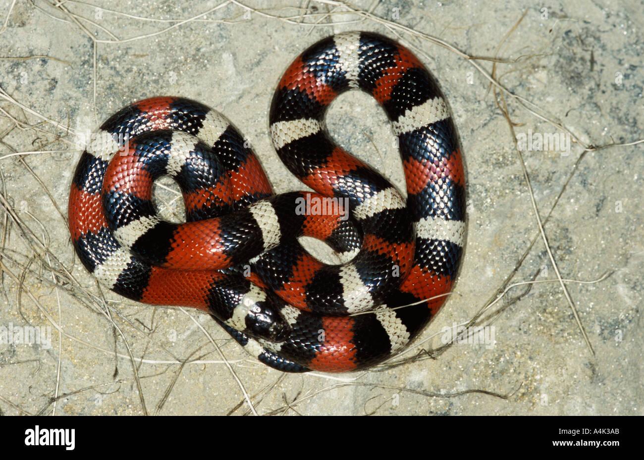 Latte Pueblan Snake MESSICO USA Immagini Stock