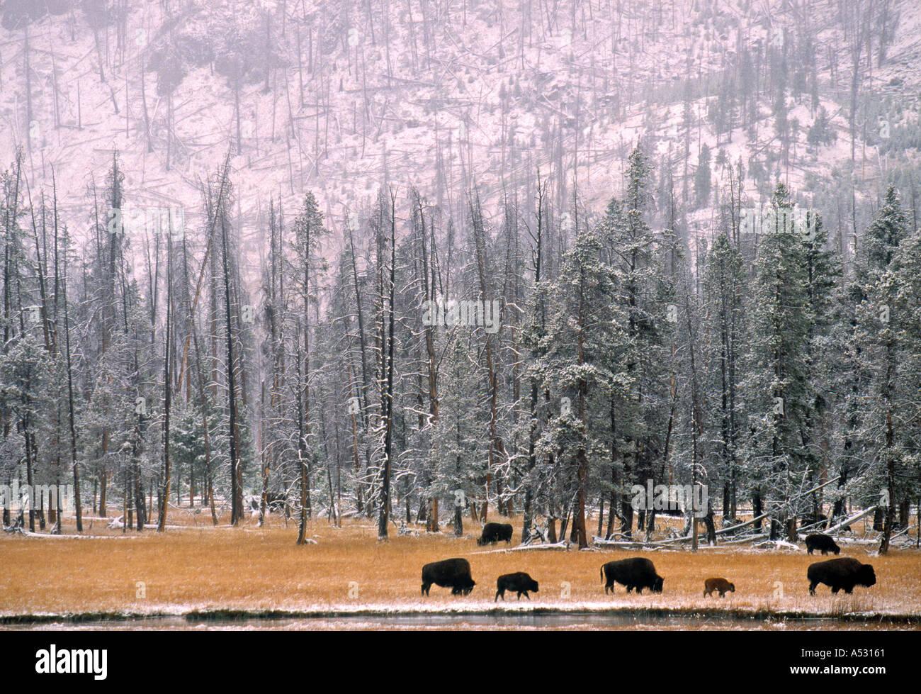 Il bufalo, Yellowstone Nat. Park, Wyoming USA Immagini Stock