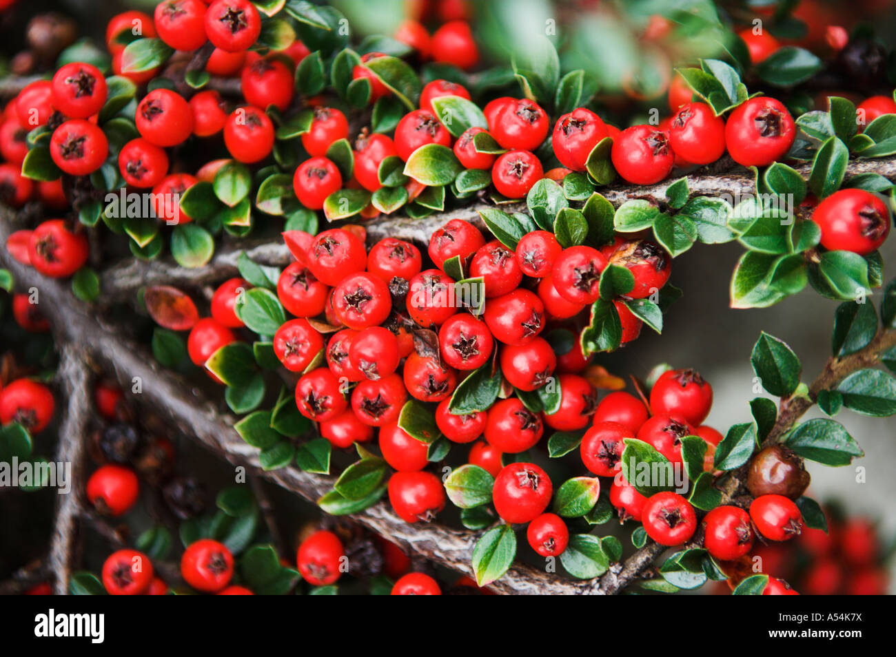 Albero Con Bacche Rosse cotoneaster horizontalis arbusto con bacche rosse in autunno