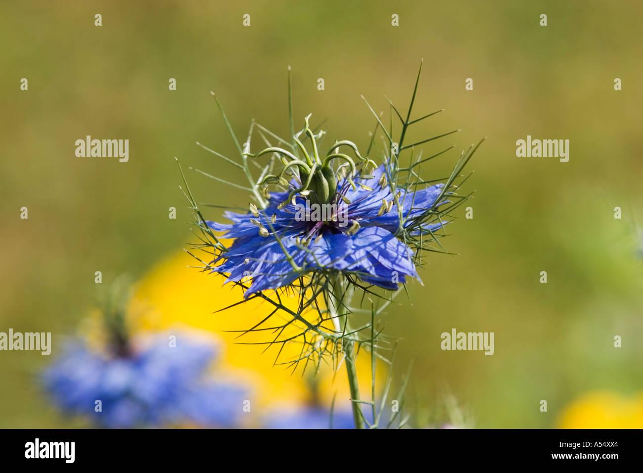 L'amore-in-un-Mist - Nigella damascena Miss Jeckyll - Ranunculaceae Foto Stock