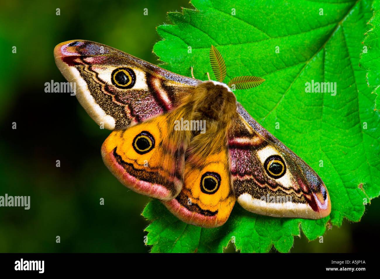 L'imperatore Moth Pavonia pavonia a riposo sul Rovo foglie potton bedfordshire Immagini Stock