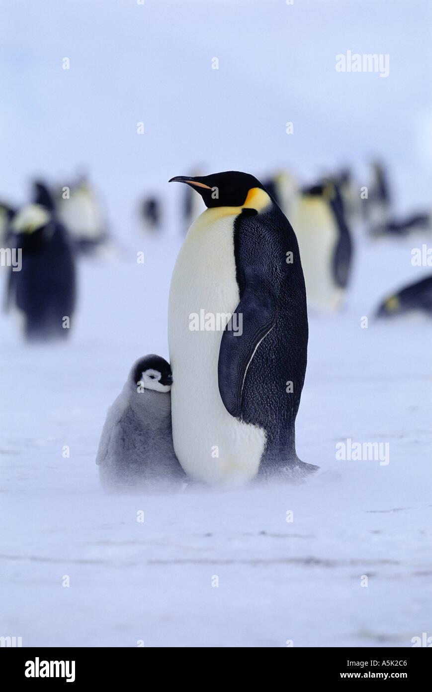 Pinguino imperatore Aptenodytes forsteri adulto con pulcino Mare di Weddell Antartide Immagini Stock