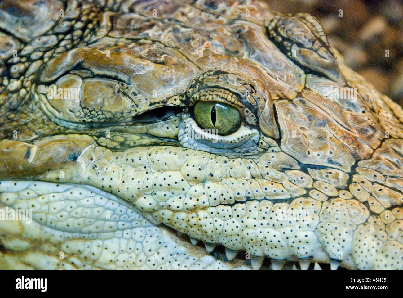Coccodrillo Crocodylus Immagini Stock