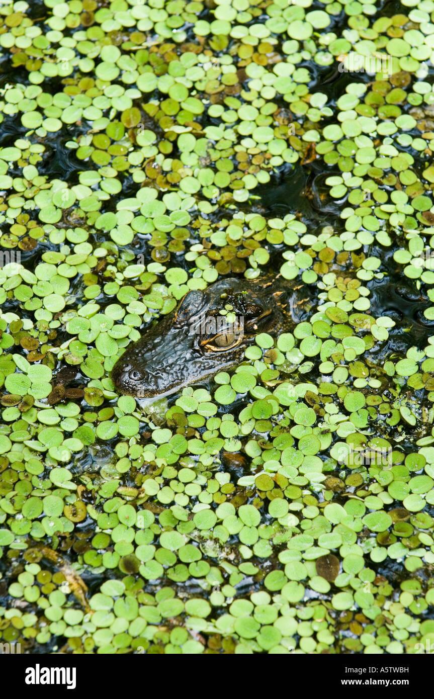 Il coccodrillo americano (Alligator mississippiensis) lenticchie d'acqua, Audubon cavatappi santuario di palude, Immagini Stock