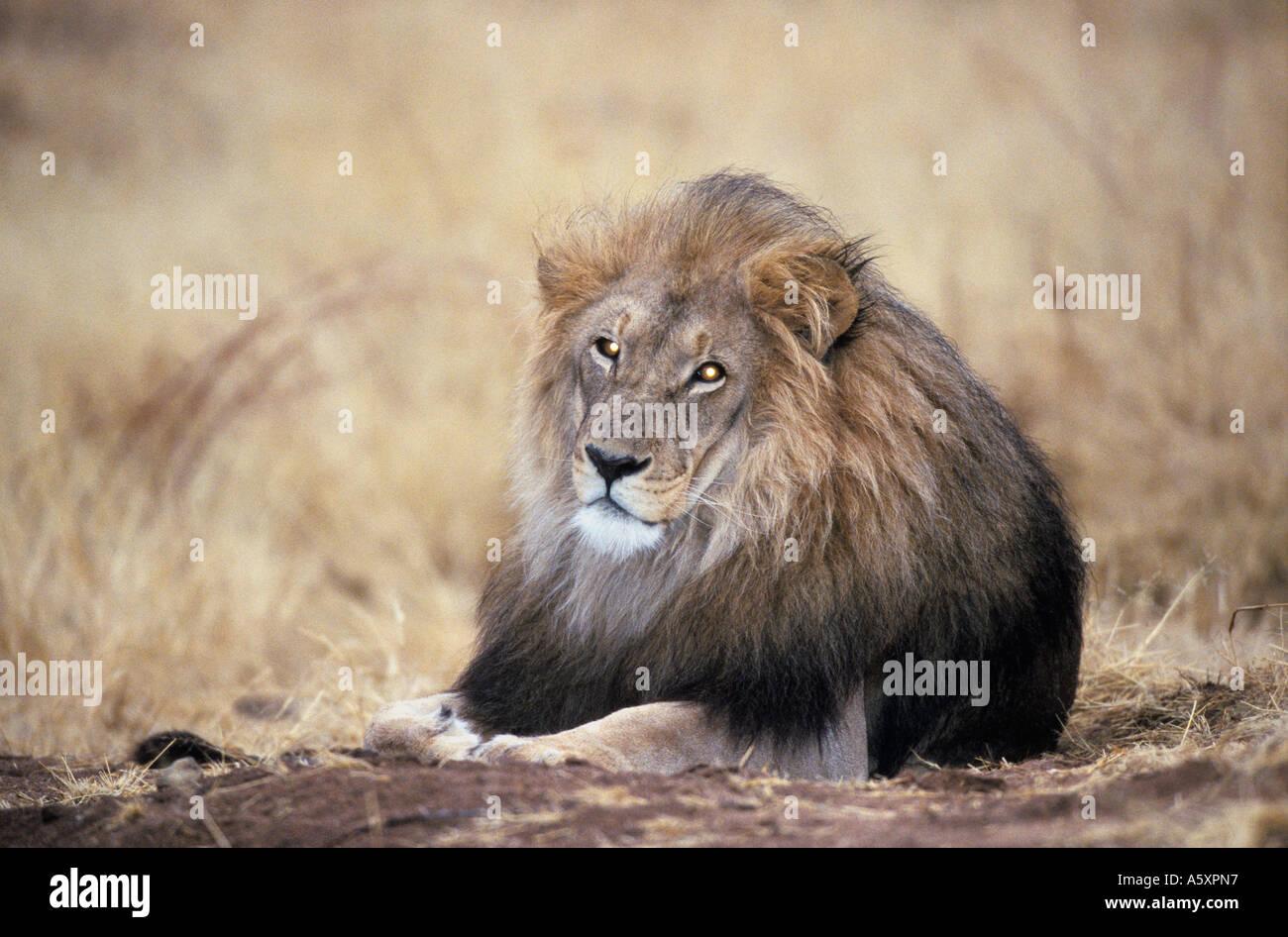 Maschio di Leone Namibia Immagini Stock