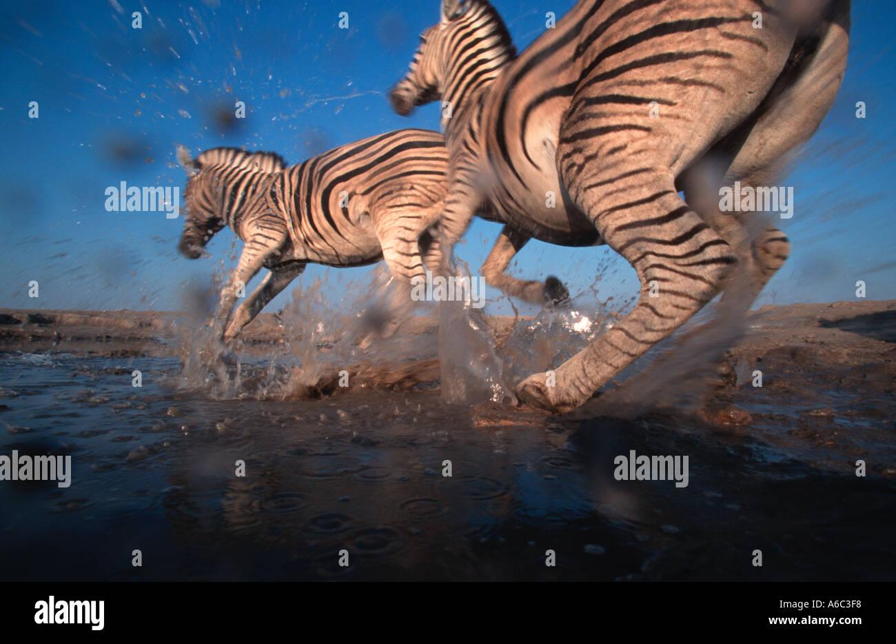 Burchells zebra Equus burchelli Stampeding a waterhole Etosha N P Namibia centrale Sud Africa orientale Immagini Stock