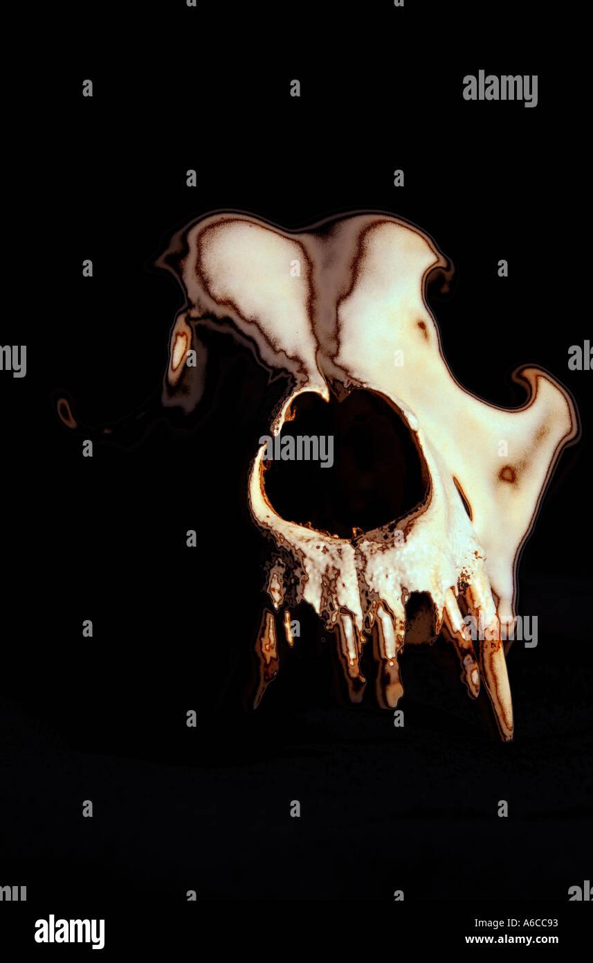 Cranio del Coyote Immagini Stock
