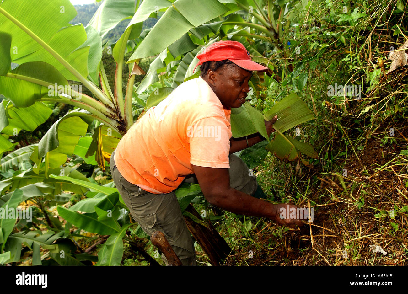 """Fairtrade agricoltore Jocelyn strisce a campana e linee fino alla """"cestino"""". Questo è un metodo naturale per impedire la crescita di erbacce Immagini Stock"""