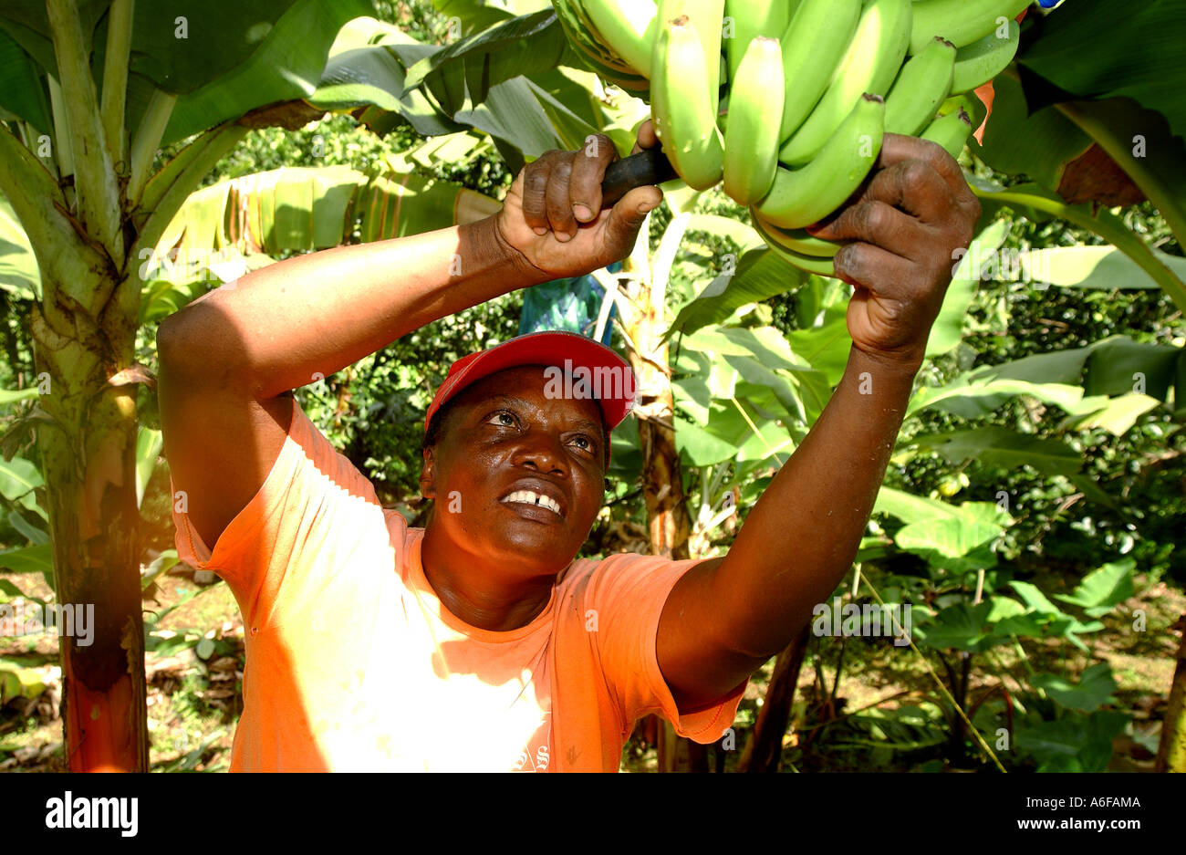 Fairtrade agricoltore Jocelyn tagli a campana e stabilisce le banane su una foglia di banano pronti per prendere il capannone di imballaggio Immagini Stock
