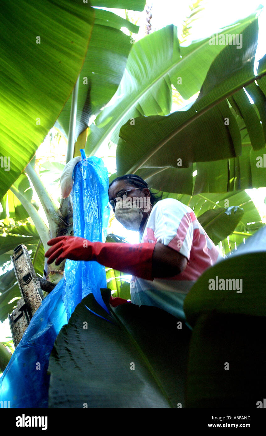 Fairtrade agricoltore la raccolta di banane Immagini Stock