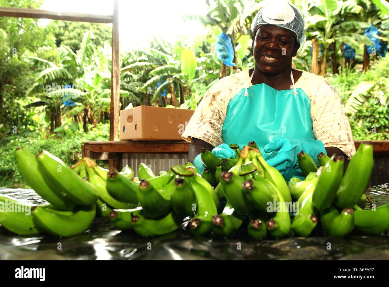 Pesatura di lavaggio e imballaggio per ottenere il Fairtrade banane pronte per la spedizione Immagini Stock