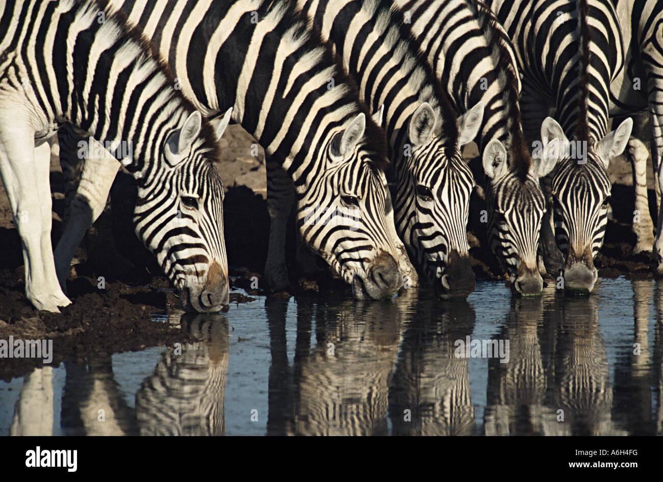 Zebra bere da waterhole Immagini Stock