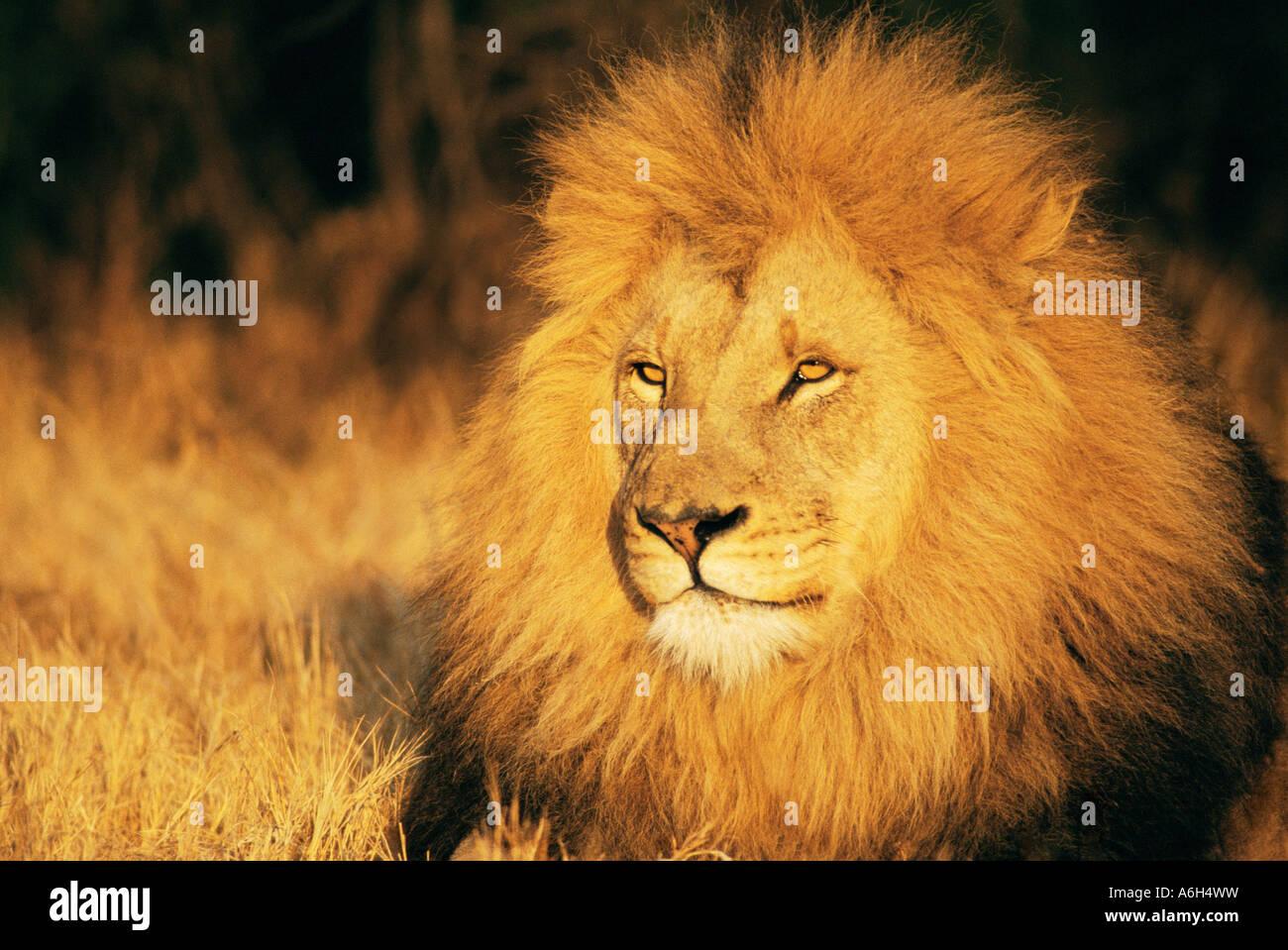 Lion Immagini Stock