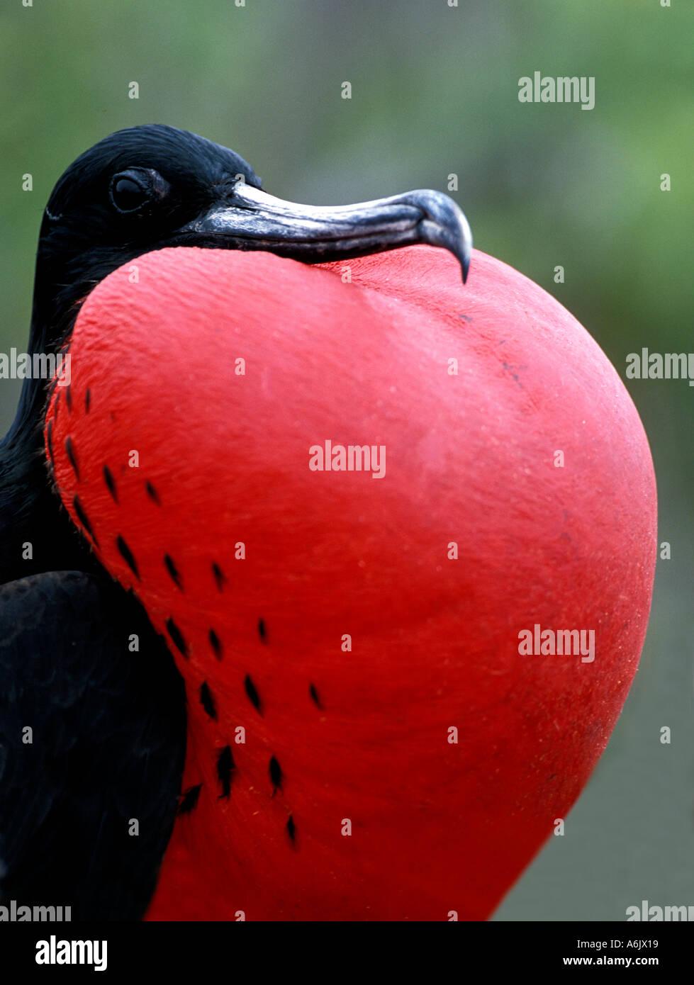 Grande maschio Frigatebird Fregata Minore Isola Tower Galapagos Ecuador piumaggio di accoppiamento Immagini Stock