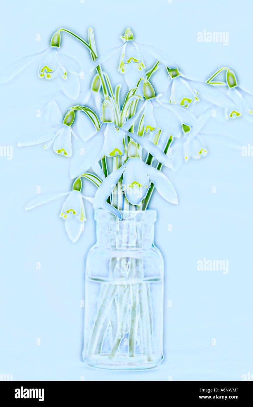 Snowdrop fiori in una bottiglia di vetro Foto Stock