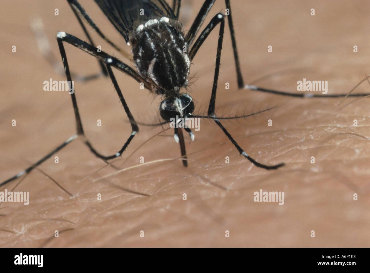 Egyptian zanzara Aedes aegypti una febbre yekllow insetto vettore Immagini Stock