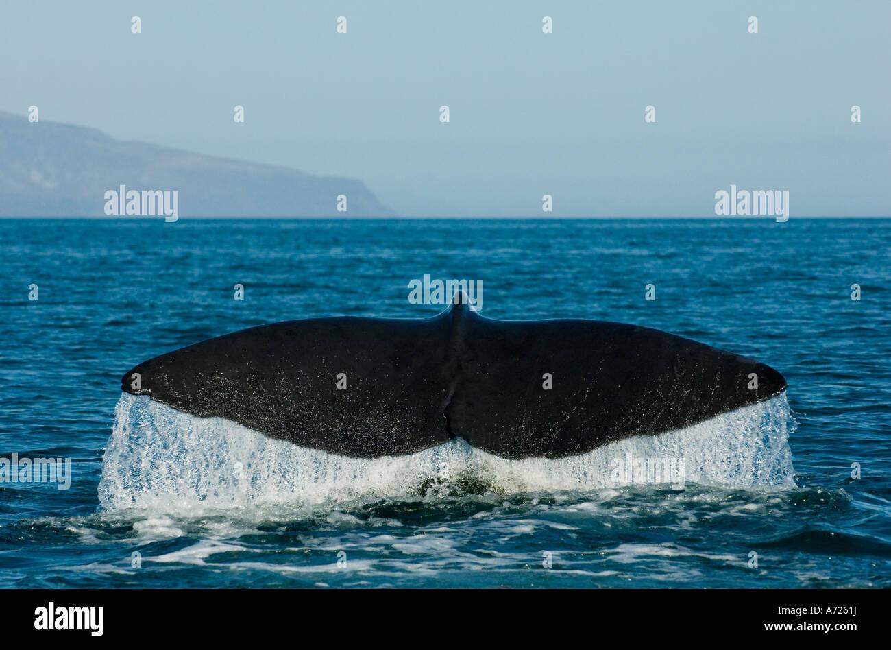 Sperma balena immersioni (Physeter macrocephalus) Mare di Cortes, Baja California, Messico Immagini Stock