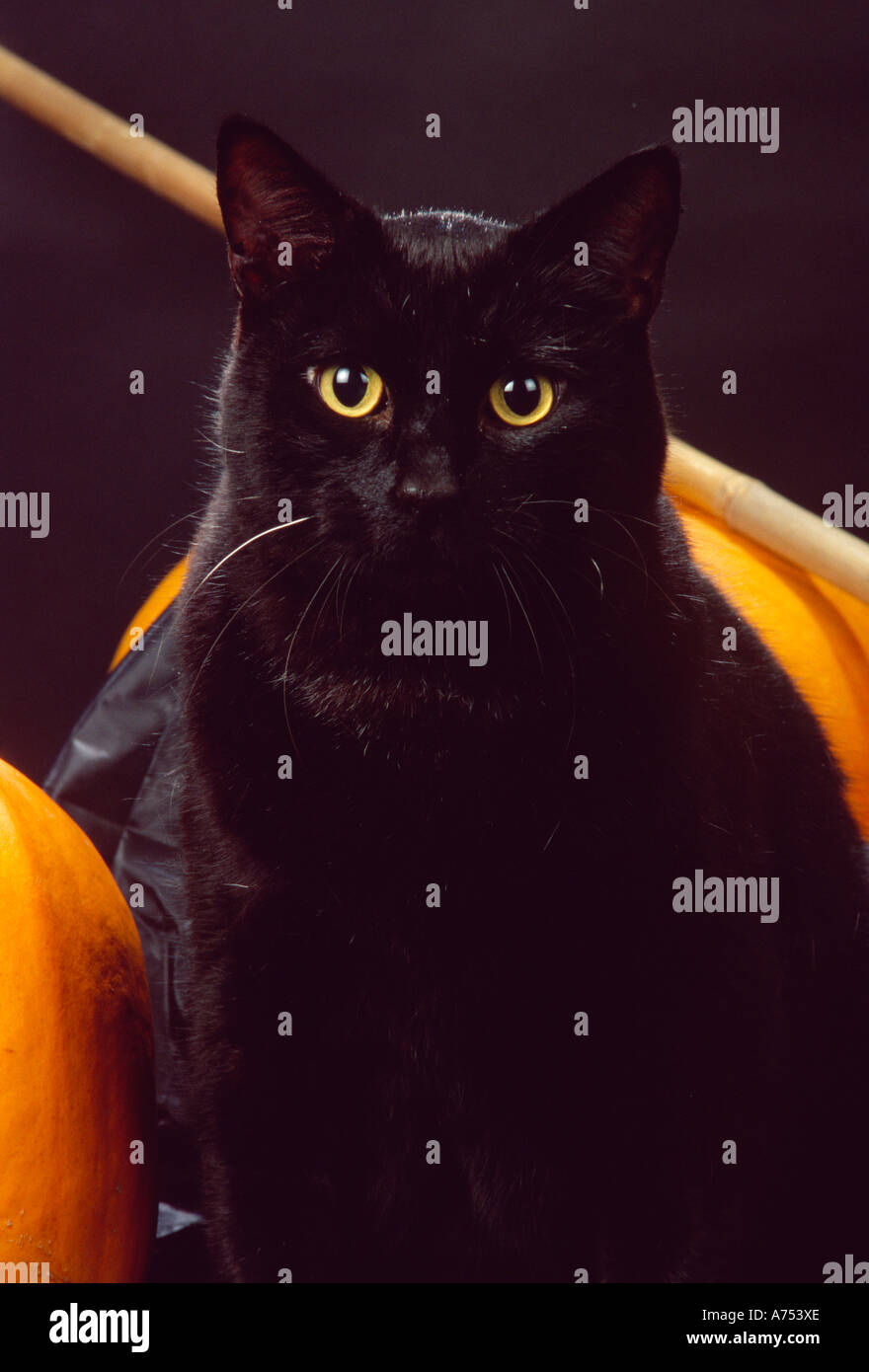 Zucca Halloween Gatto.Stock Photo Gatto Domestico Nero Shorthair Zucche Di Halloween