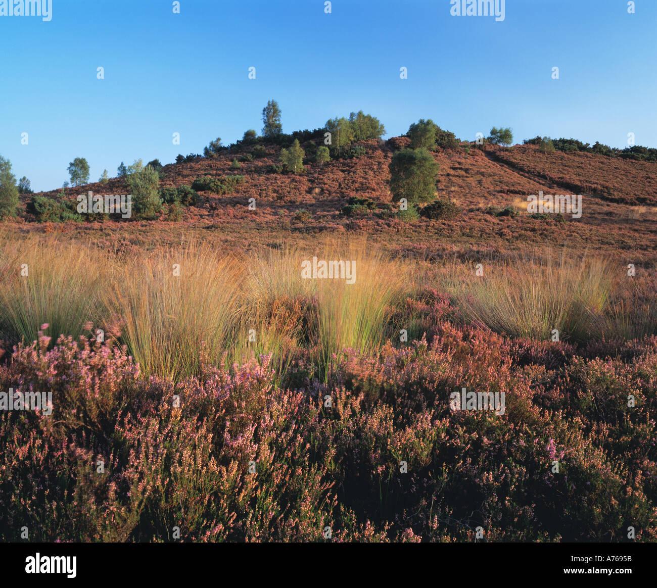 Comune Thursley Riserva Naturale Nazionale ,Surrey brughiera,Surrey, Inghilterra, Regno Unito GB. Immagini Stock