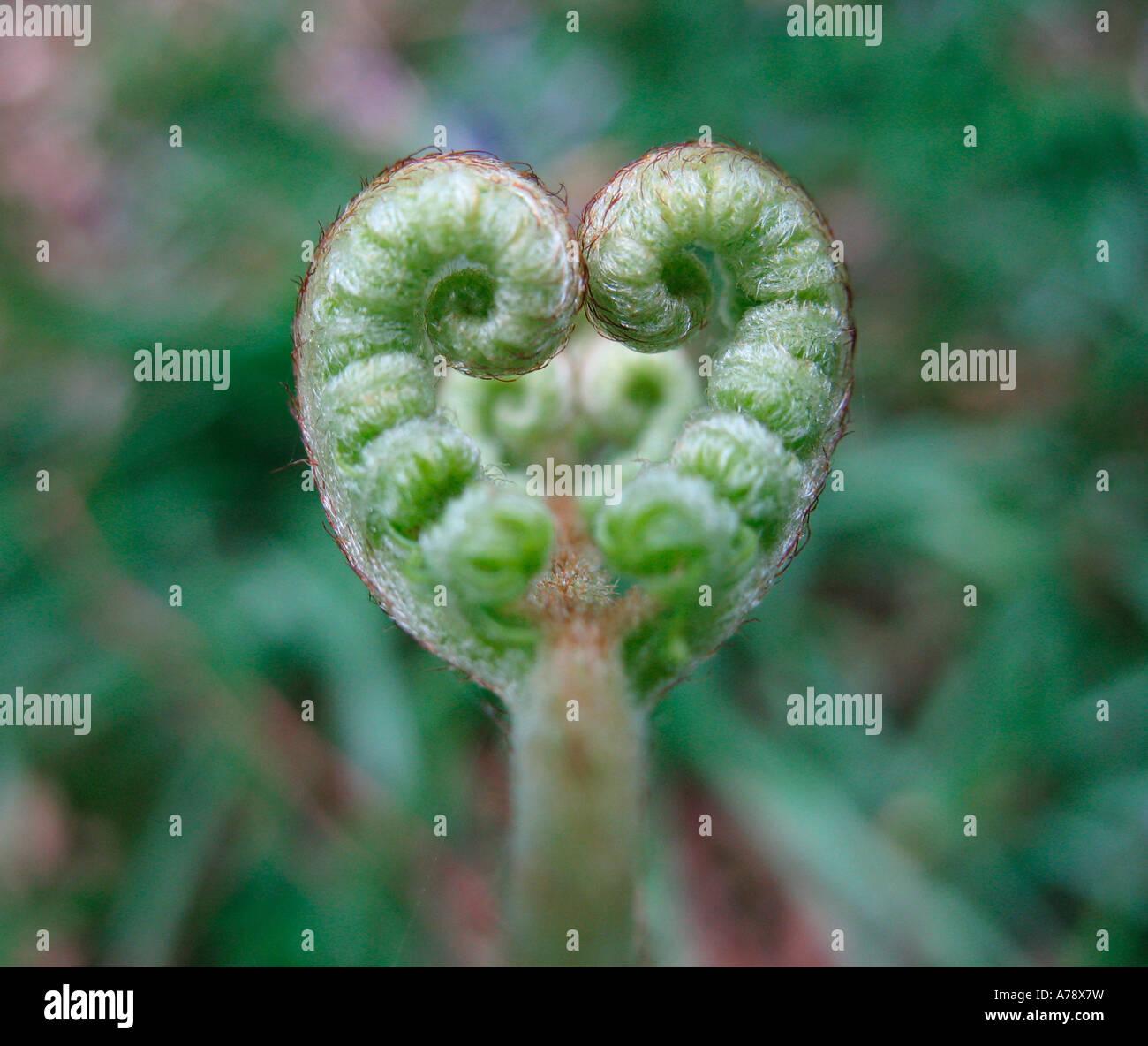 Un cuore sagomata formata di recente foglia di felce nelle prime fasi di crescita Immagini Stock