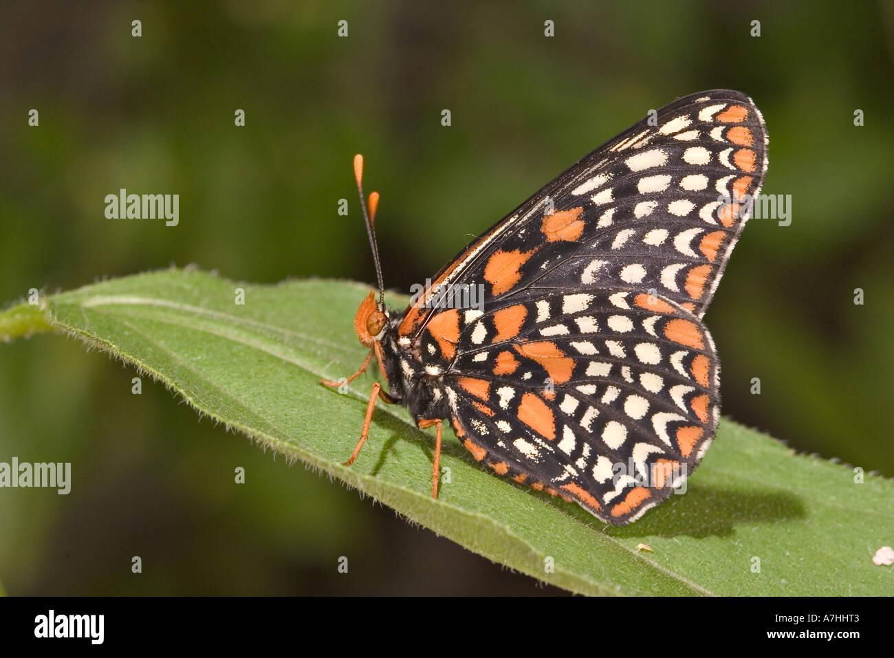 Baltimore Checkerspot - raro farfalla sulla foglia Immagini Stock