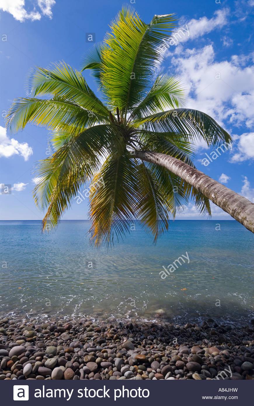 Palm tree sovrastante la riva, Dominica, isole Windward, dei Caraibi Immagini Stock