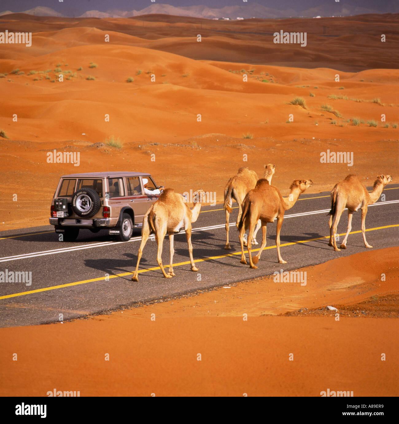 I QUATTRO CAVALIERI DELL'APOCALISSE  Cammelli-vagare-lungo-come-un-4-ruote-motrici-li-passa-sulla-principale-strada-nel-deserto-attraverso-le-dune-di-sabbia-a-sud-di-al-ain-in-abu-dhabi-a89er9