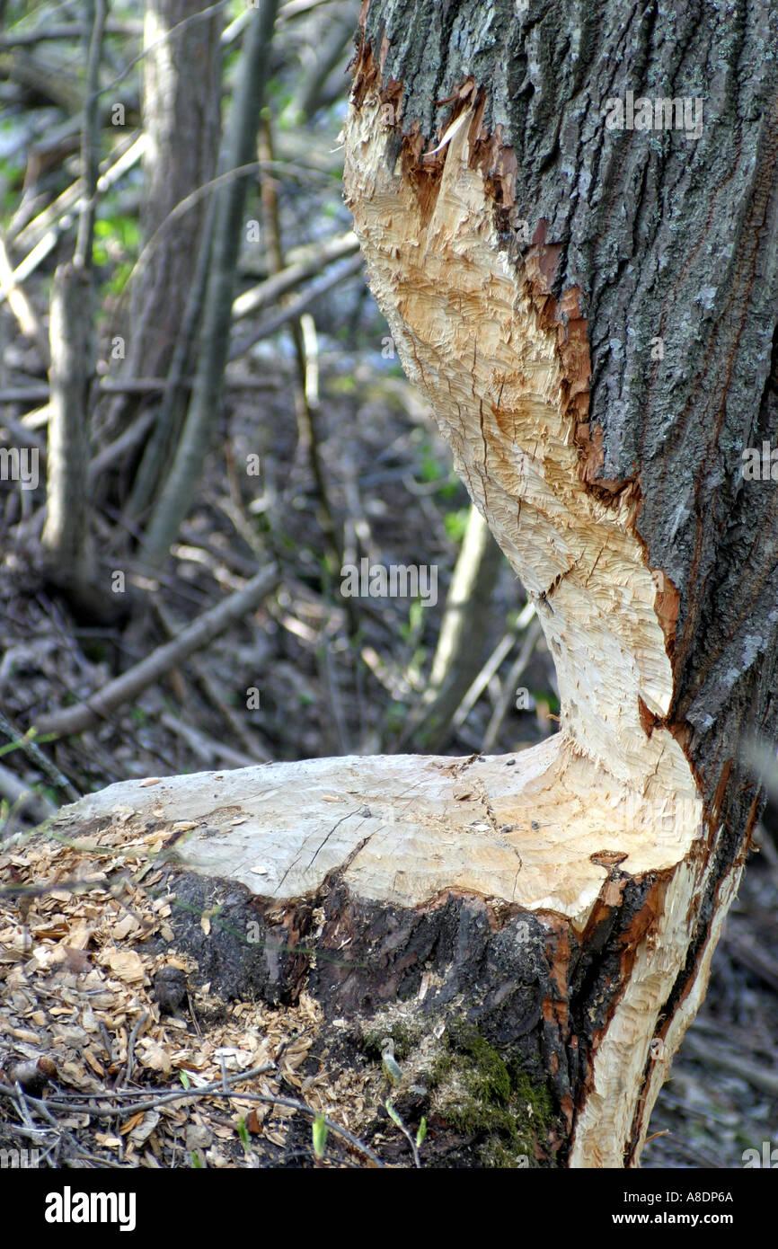 Un albero quasi abbattuto da un castoro Immagini Stock