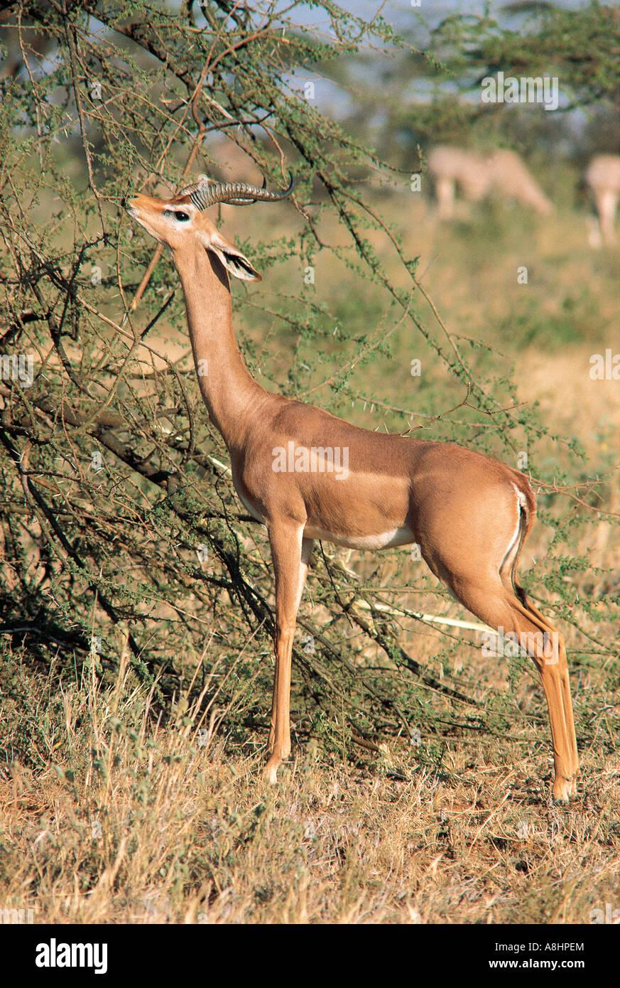 Maschio di alimentazione Gerenuk sulla boccola di Acacia Samburu Riserva nazionale del Kenya Immagini Stock