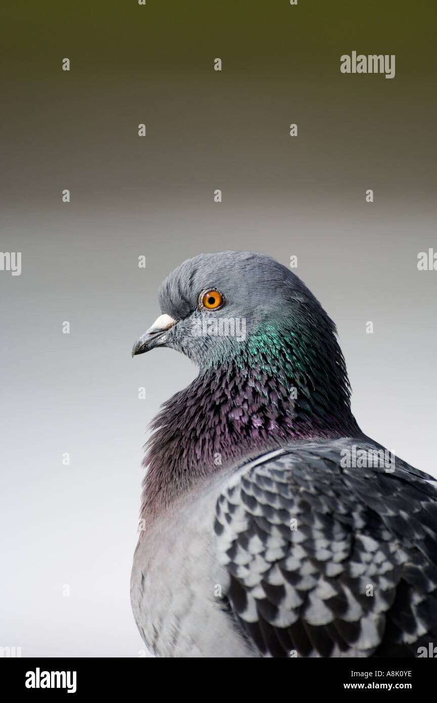 Feral Pigeon Trafalgar Square Londra Immagini Stock