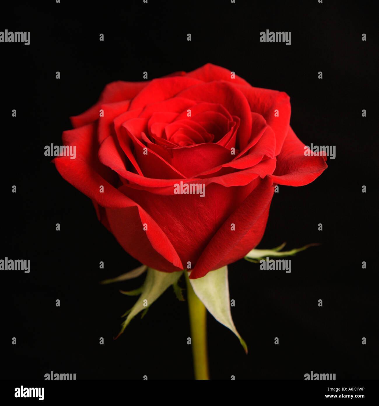 Singola Con Gambo Lungo Una Rosa Rossa Su Sfondo Nero Foto