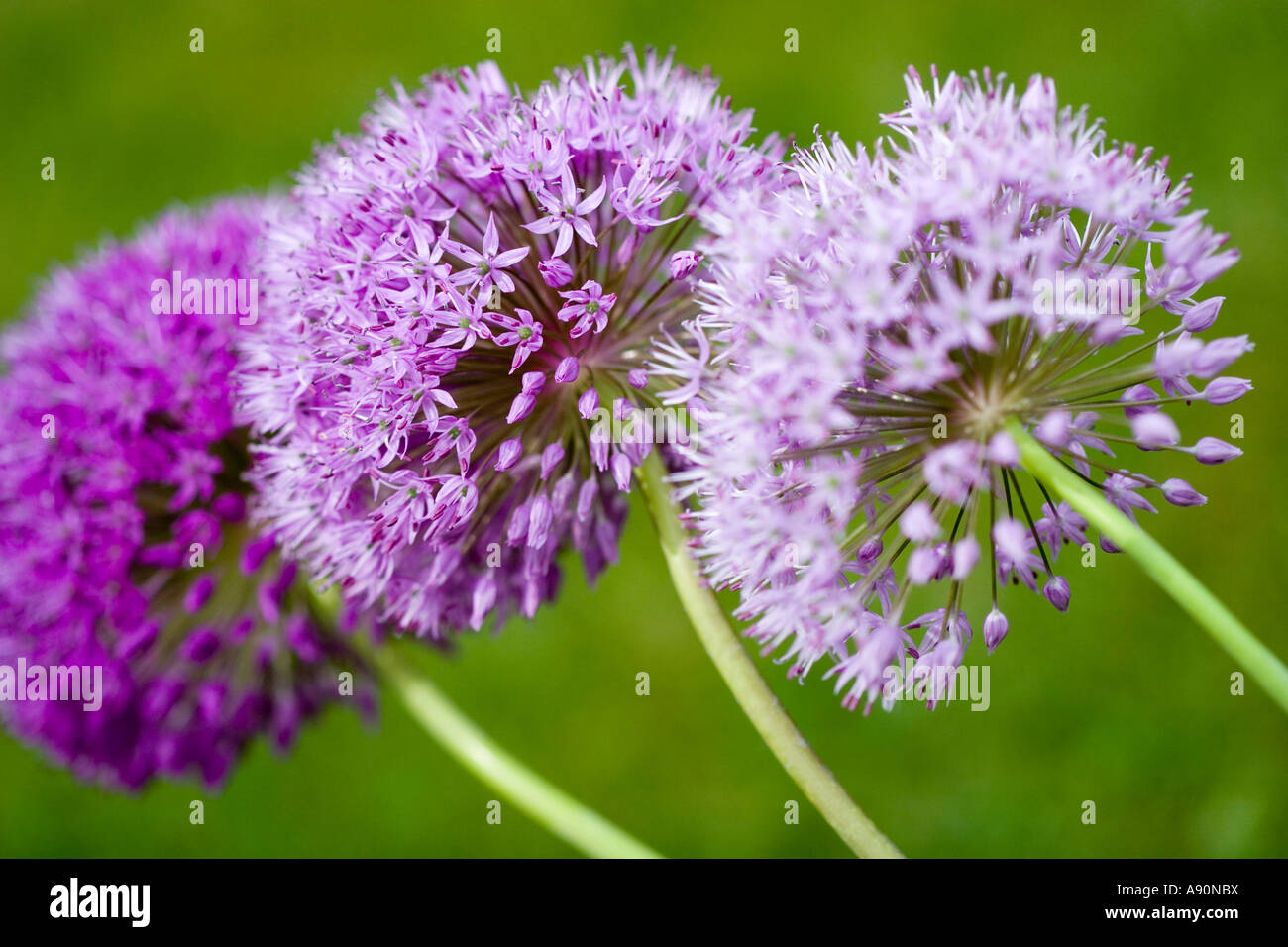 Trio di Alliums Immagini Stock