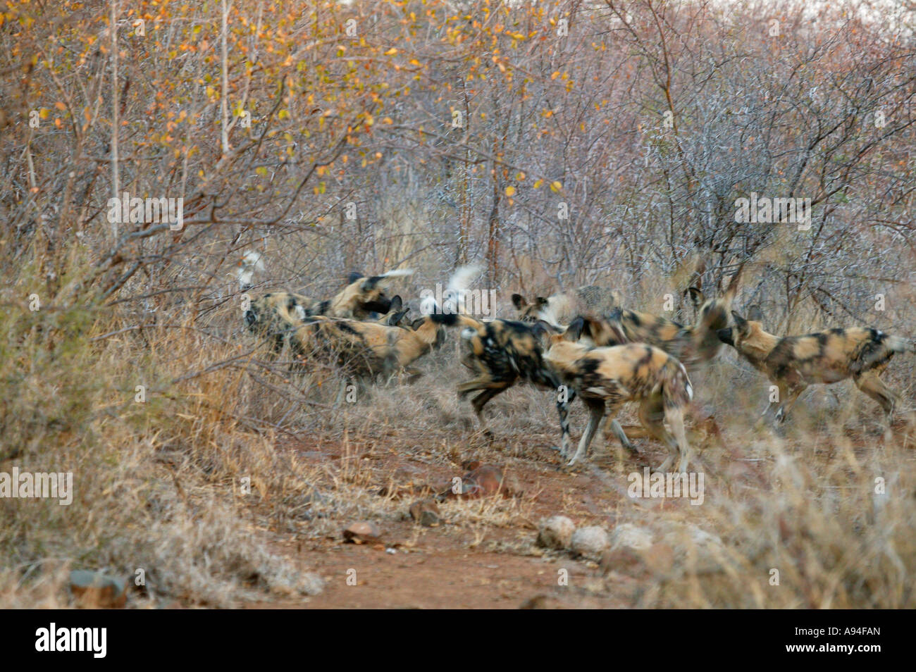 Cani selvatici Capo Caccia cane in una sfocatura durante le attività di socializzazione poco prima di spostarsi Immagini Stock